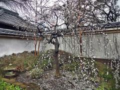 Hongaku-ji Shedding Ume (Rekishi no Tabi) Tags: japan spring yokohama ume kanagawa edoperiod umeblossoms bakumatsu hongakuji japanesebuddhisttemples usdiplomatichistoryinjapan