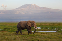 Elephant under Kilimanjaro (Rodney Topor) Tags: africa mountain elephant mtkilimanjaro nature animal kenya wildlife amboseli canonef24105mmf4lisusm