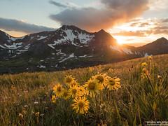 Aspen Sunflower Sunset Crested Butte Colorado (WildernessShots.com) Tags: landscape wildflowers sunstar sunset rockymountains colorado crestedbutte mountains