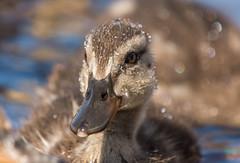 Birds-189.jpg (Mallard Duckling) (luc_pic) Tags: nature wet closeup duck pond wildlife duckling mallard d500