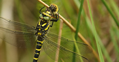 Golden-ringed Dragonfly (Cordulegaster boltonii ) with a Bumble Bee lunch. (Sandra Standbridge.) Tags: insect goldenringeddragonfly dragonfly insects bumblebee animal animals reeds feeding cordulegasterboltonii scotland outdoor wildandfree macro