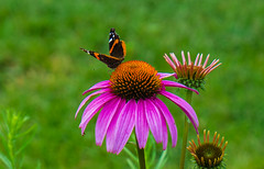 Butterfly Pt. 2 - Wings Spread (Jordan David Photography) Tags: pink flower macro nature butterfly garden insect cone coneflower multicolor