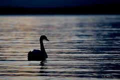 Swanrise (DanRansley) Tags: ocean morning sea bird nature water silhouette sunrise dawn coast swan cornwall birding ornithology muteswan porthallow danransleyphotography