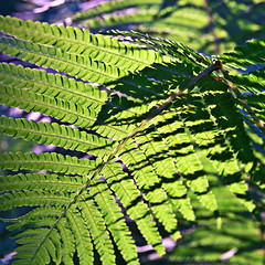 Summer Fern in Sunny Dreams  Silva Wischeropp aka Silva Capitana (SILVA CAPITANA) Tags: summerfern sunnydreams summer dream summerevening eveninglight nature plants fern green yellow blue stilllife flowers structure archetypes decorations form lines lightandshadow shadow shadowplay shadowlines summergarden botanic meadow lightgreen love summerlovers brightness light flora sun sunnysummer july