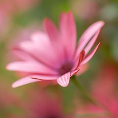 Cape Daisy (paulapics2) Tags: fleur floral flora blumen summer garden nature pink