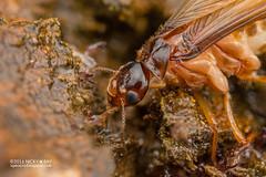 Pseudoscorpions preying on termite - DSC_7361 (nickybay) Tags: macro malaysia johor pantiforest termite isoptera pseudoscorpion pseudoscorpionida prey