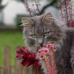 Take time to smell the .... houseleek ! (FocusPocus Photography) Tags: pet flower animal cat chat gato katze blume haustier kater tier fynn sempervivum htt cobwebhouseleek spinnenhauswurz fynnegan