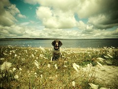 Amongst the Cotton Grass (Missy Jussy) Tags: england sky dog beach water field grass animal clouds canon landscape horizon reservoir lancashire mollie spaniel springerspaniel rochdale cottongrass englishspringer blackstoneedge canonpowershotsx60