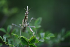(Leela Channer) Tags: summer france macro green nature leaves animal closeup mantis insect creature gard mantid empusapennata