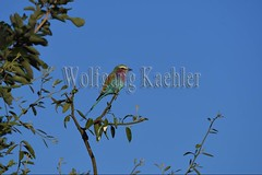 10075508 (wolfgangkaehler) Tags: africa bird african wildlife roller zambia southernafrica 2016 lilacbreastedroller zambian southluangwanationalpark rollerbird lilacbreastedrollers lilacbreastedrollercoraciascaudatus lilacbreastedrollercoraciascaudataus