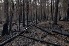 Carnage Visors (Villem Voormansik) Tags: trees black forest dark burnt fir forestfire barren spruce