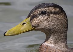 Female Mallard (ORIONSM) Tags: portrait bird eye water bill duck pond mallard fowl