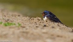 Barn Swallow (Danny Gibson) Tags: bird birds birdwatching birding birdphotography birdwatcher wildlife wildlifephotography wildbirds wildife dgpixorguk loughneagh northernirelandwildlife northernirelandbirds canon7d canoneos7d canon400mmf56l swallow barn barnswallow