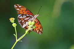 Passion Butterfly feeding on nectar (s_uddin59) Tags: kahukupoint kahuku turtlebayresort northshore oahu hawaii passionbutterfly butterfly feeding agraulisvanillae gulffritillary