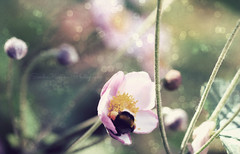 nestled. (Sandra Kppen | P H O T O G R A P H Y) Tags: bright beautiful beauty bokeh blossom bloom bee anemone closeup cute colourful dreamy detail day delicate dream flower fairytale fragile green light macro nature pastel pink purple simple still season sparkle soft sun summer serene tiny