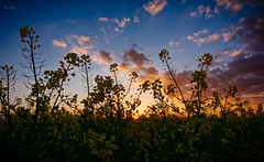 The Lowdown (spiderstreaky) Tags: landscape sunset green light nature blades fresh focus plant sky horizon blooming oilseed sundown sun bright wildlife english fields sunshine crops footpath flowers cotswold black yellow summer plants beauty crop detail walking goldenhour flower silhouette closeup farm blue golden beautiful pollen clouds warwickshire abstract cotswolds farming countryside exposure