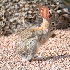 Rabbit (Kukui Photography) Tags: 2 mile trail canyon ranch arizona tucson 2miletrail canyonranch