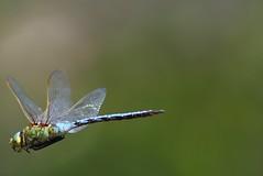 (trop) bref vol stationnaire ! (rocailles) Tags: odonate libellule vol dragonfly flight