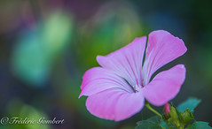 sweet pink of dreams (frederic.gombert) Tags: sweet pink flower flowers color colors light garden spring summer plant macro macrodreams greatphotographers nikon d810