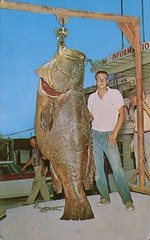Jewfish, Robert Hurst, Freeport Jaycees Annual Fishing Fiesta (SwellMap) Tags: postcard vintage retro pc chrome 50s 60s sixties fifties roadside midcentury populuxe atomicage nostalgia americana kitsch animal animals wildlife pose posing fish fishing hunting
