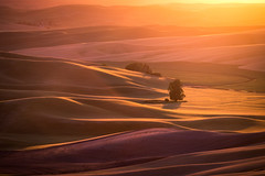 Steptoe Glow (DMontalbano) Tags: 500px palouse washington wheat fields agriculture yellow grass farming tree country countryside natural sun sunset beautiful rural light field summer farm beauty steptoe butte colfax dan montalbano photography travel landscape landscapes