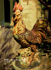 The Iron Rooster (RedHatGal: Barbara Butler/FireCreek Photography) Tags: cambria ca iron rooster fencepost texture portrait outdoor centralcoast folkart barbarabutlerphotography redhatgal