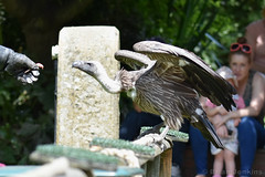 White-Backed Vulture (Bri_J) Tags: tropicalbutterflyhouse northanston sheffield southyorkshire uk yorkshire nikon d7200 whitebackedvulture vulture bird gypsafricanus