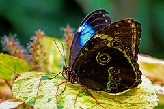 Magical Morpho (dianne_stankiewicz) Tags: nature butterfly morpho allnaturesparadise