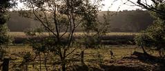 The Lone Kanga (OzzRod (taking a break)) Tags: pentax k1 hdpentaxdfa2470mmf28 pentaxsingleinjuly2016 goldenhour rural farmland grazing kangaroo intothesun murrah