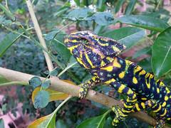 Chameleon ($!|v!@) Tags: salalah dhofar oman sultanate water acqua animal chameleon camaleonte nature natura