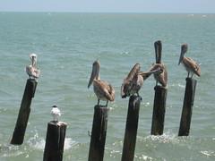 pelican at Dangriga (Sasha India) Tags: belizecity belize             caribbean