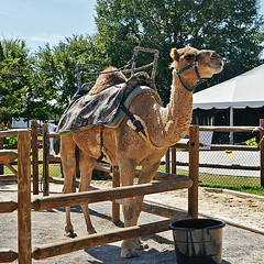 Desert Uber (redhorse5.0) Tags: camel animals camelrides chattanoogazoo chattanoogatennessee dromedarycamel nature wildlife redhorse50 sonya850