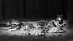 Pack (Strange Artifact) Tags: olympus em10 markii mzuiko digital ed 75300mm f4867 ii gaiazoo wolves pack black white schwarz weiss zwart wit bw