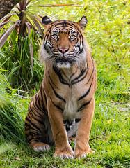 Langka (ToddLahman) Tags: langka sumatrantiger sandiegozoosafaripark safaripark escondido canon7dmkii canon canon100400 tigers tiger tigertrail