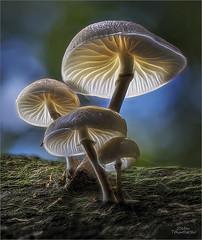 Buchenschleimrbling (Traumflieger_Foto) Tags: buchenschleimrbling mushroom pilze makro stacking traumflieger wald ledlampen makrofotografie oudemansiella mucida canon dslr lowlight abendstimmung blaue stunde blue hour pilzgruppe