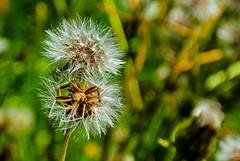 Nearly two of us ... (Kat-i) Tags: ramsaubeiberchtesgaden bayern deutschland lwenzahn dandelion pusteblume samenstand seeds natur nature outside nikon1v1 kati katharina 2016 makro macro