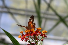 Butterfly Colours (Josiedurney) Tags: august amsterdam holland 2016 tourist holiday travel city capital summer hortusbotanicus horticulture glass glasshouse greenhouse palmhouse plants green trees flowers butterflies butterfly bark pattern nature life