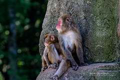 Mother and baby Japanese Macaque 'Snow Monkey' looking on (tohokuphotography) Tags: snowmonkey macaque japan monkey motherandbaby zoolife tohokuphotography nature wildlife primate looking wild nursing baby mother relax redface red chillin