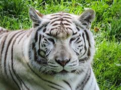 Zoo de Cerza (Brnys) Tags: parc parczoologique parczoologiquedecerza zoo zoodecerza france bassenormandie normandie calvados lisieux animaux animal tigre tigreblanc tiger
