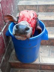 Sono i giorni del Salone del Gusto 3 (magellano) Tags: mucca cow testa head secchio mercato market mercado potos bolivia