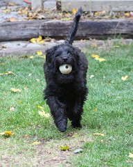 Tibi's Favourite Ball (m.gifford) Tags: tibi puppy whoodle fetch ball