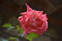 Rosas de otoño (esta_ahi) Tags: rosal rosa rosaceae flor flora flores cultivadas farena altcamp montral tarragona spain españa испания