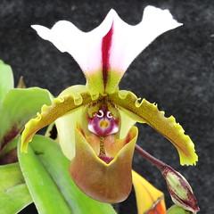 2016-10-21 Paphiopedilum spicerianum - BG Teplice (beranekp) Tags: czech teplice teplitz botanik botany botanic herbarium herbary herb garden garten flora flower orchidea paphiopedilum