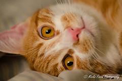 23102016-DSC_0013 (mirkoforza) Tags: red gatto cat cats 105 105mm nikon sigma macro animal animals eye eyes passion love amazing