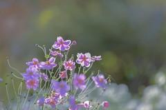 BC wild flowers (yuanxizhou) Tags: purple pink flowerphotography field garden beautiful colors magic sun light wildflowers flower
