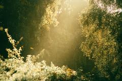 Ancient Light (Adam_Marshall) Tags: sunshine adam marshall landscape plants goldenhour shallowdof stereocolours outdoors green nature autumn forest trees adammarshall wood telephoto warm countryside fen fenland cambridgeshire canon eos70d 70200mmf40 birch fern adventure beautiful