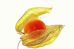 Physalis  - Backlit, HMM (Jeannie Debs) Tags: backlit macromondays macromondaysbacklit hmm fruit orange physalis leaves ef100mmf28lmacroisusm photogragh monday macro photography wow