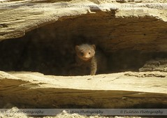 Dwarf Mongoose Baby (ficktionphotography) Tags: adolescent baby bronxzoo mongoose young dwarfmongoose