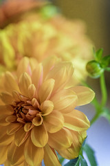 Dahlia (Linda Kosidlo) Tags: odc orange dahlia blooms garden flower naturallight