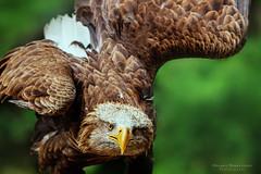 Seeadler No. 6753.jpg (Knipser31405) Tags: vgel seeadler 2015 fauna kurpfalzpark vgel